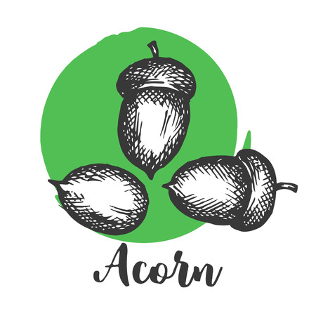 Acorn setch style Hand drawn vector illustrations Autumn elements . Design elements for invitations, greeting cards, quotes, blogs, posters, prints