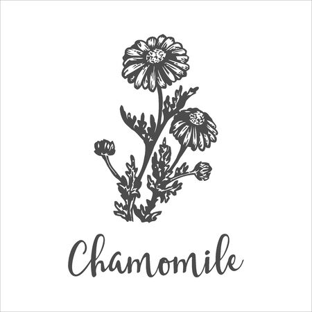 Herb medicinal chamomile. Hand drawn sketch of wild flowers. Vector illustration Design for labels and packaging. Engraved botanical drawing