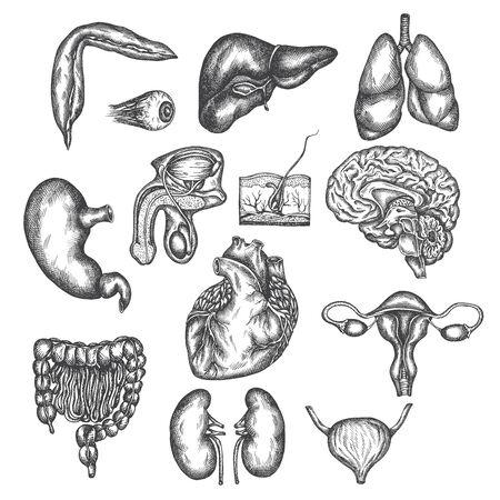 Hand drawn illustration of human organs Internal organ, skin and eye. Vector sketch isolated illustration. Anatomy symbols set. Medical pictures. Illustration