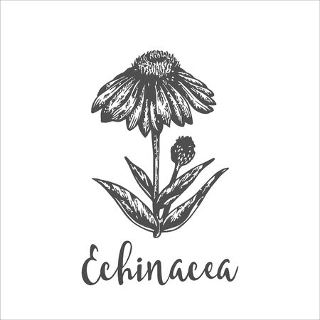 Echinacea purpurea plant. Hand drawn sketch of wild flowers. Vector illustration of herbs. Design for labels and packaging. Engraved botanical drawing Vintage herbal engraving. Illustration