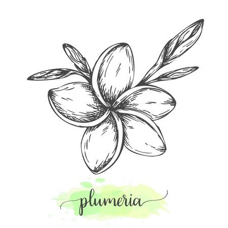 Hand drawn plumeria flowers. Floral background isolated on white. Vector illustration in vintage style Sketch of tropical flower Outline botanical design