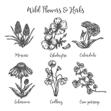 Herb medicinal cow parsnip, muscari, calendula and echinacea. Hand drawin sketch of wild flowers. Vector illustration Design for labels and packaging.Engraved botanical drawing