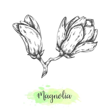 Hand drawn magnolia flower sketch. Floral background with blooming oriental tree isolated on white. Vector illustration in vintage style. Tropical flower Outline botanical design Illustration