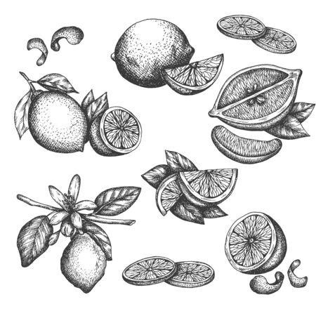 Insieme di lime o limone disegnato a mano di vettore. Pianta del fiore con foglie Schizzo di limoni a fette Limone isotato su sfondo bianco Illustrazione per limonata Disegno in stile retrò vintage per tè, succo di frutta, cosmetici Vettoriali