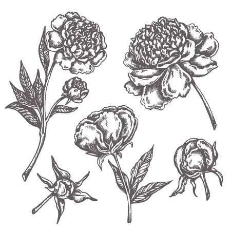 Peony flower drawing Sketch Floral Botany Collection Hand drawn flowers isolated on white background Vector illustration