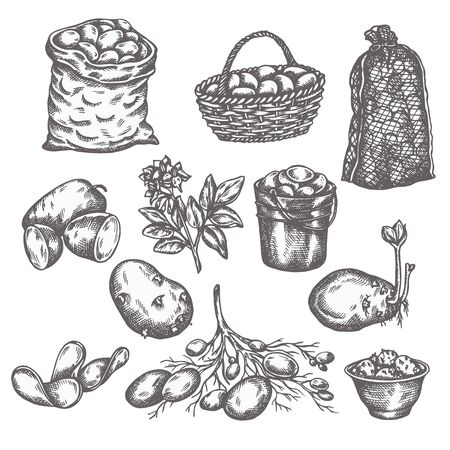 Hand drawn sketch potato vegetable. Vintage illustration of ripe potatoes 向量圖像