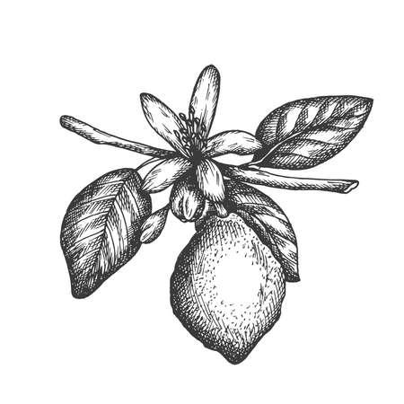 Vector hand drawn lemon illustration in retro style Illustration