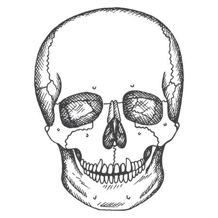 Human skull. Vector sketch isolated illustration. Medical pictures.