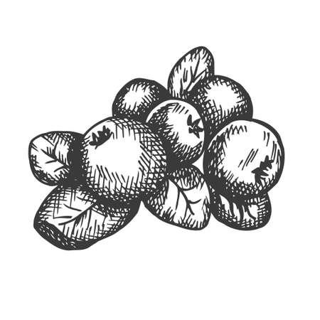 Cranberry hand drawn vector. Sketch of fruit Vector illustration. Berry in vintage style Design for menu, farm market poster Illustration