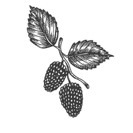 Mulberry hand drawn vector. Sketch of fruit Vector illustration. Berry in vintage style Design for menu, farm market poster