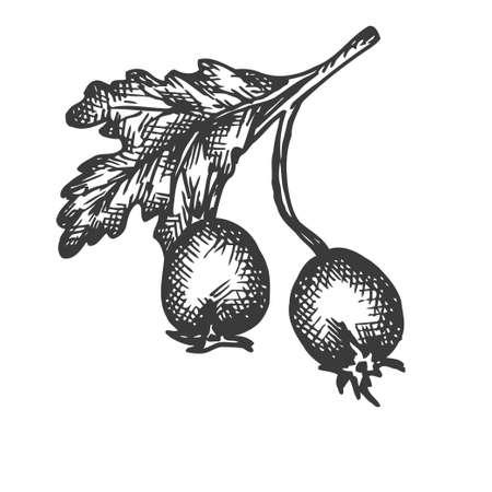Rose hip hand drawn vector. Sketch of dog-rose Vector illustration. Berry in vintage style Design for menu, farm market poster Illustration