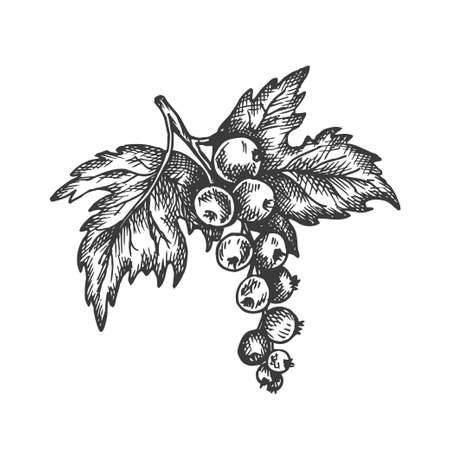 Black currant hand drawn vector. Sketch of fruit Vector illustration. Berry in vintage style Design for menu, farm market poster
