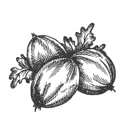 Gooseberry hand drawn vector. Sketch of fruit Vector illustration. Alma Berry in vintage style Design for menu, farm market poster