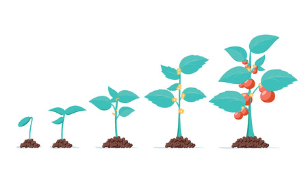 Tomato stage growth. Life cycle of a tomato plant, leaf, flower and fruiting stages. Vector flat style