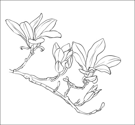 Hand drawn magnolia flowers. Hand drawn realistic sketch. Illustration