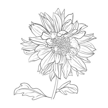Hand drawn realistic dahlia flower. Romantic vector illustration. Ilustração