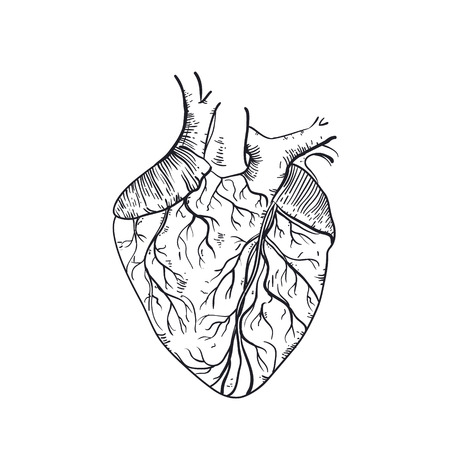 anatomic: hand drawn anatomic human heart. Vintage style sketch isolated on a white background