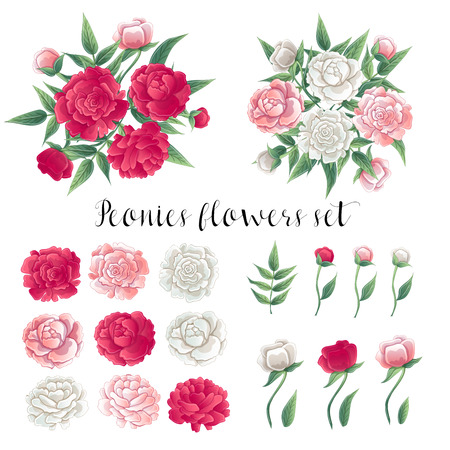 peon: Flowers and Leaves. Pink and White Peonies. Floral Set. Vector illustration