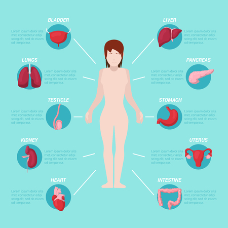 testicle: Human Body Anatomy Medical Scheme with Internal Organs. Vector illustration Illustration
