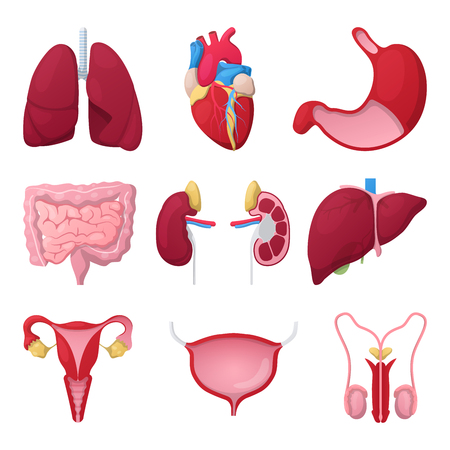 Human Anatomy Organs with Heart, Stomach and Kidneys. Medical vector illustration
