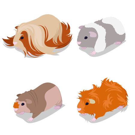 Guinea Pig Rassen Set mit peruanischen, amerikanischen Teddy, Skinny und Abessinier. Haustier Nagetiere. Vektor-Illustration