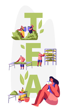 Tea Concept. Male and Female Characters in Traditional Indian Clothes Collecting Fresh Tea Leaves on Plantation, Woman Drinking Tea. Poster, Banner, Flyer, Brochure. Cartoon Flat Vector Illustration