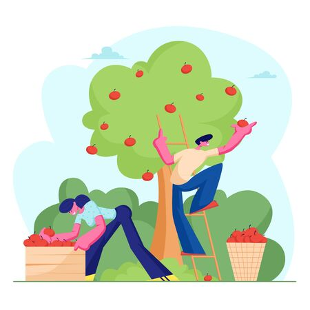 Man and Woman Farmers Pick Apple Harvest to Basket and Box. Characters Harvesting Ripe Fruits from Green Organic Tree in Country Garden, Ecological Healthy Nutrition. Cartoon Flat Vector Illustration