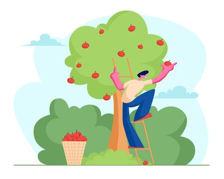 Man Farmer Pick Apples to Basket. Male Gardener Character Harvesting Ripe Fruits from Green Organic Tree in Country Garden, Ecological Healthy Nutrition, Agriculture. Cartoon Flat Vector Illustration Illustration