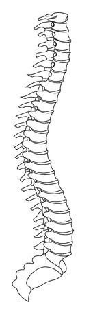 colonna vertebrale: Spina dorsale Vettoriali