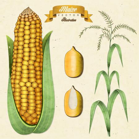 Ilustración del maíz de la vendimia retro. maiz. , Ilustración maíz aislado realista.