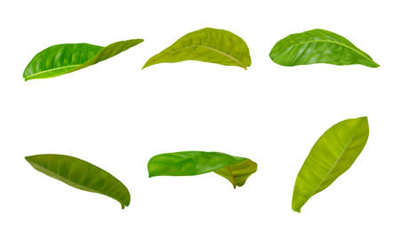 Realistic leaves sets in different postures on a white background. Illusztráció