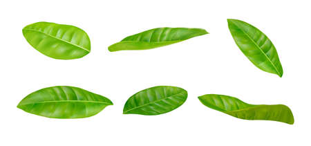 Realistic leaves sets in different postures on a white background. Illustration