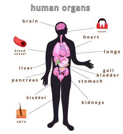 Realistic internal human body organs.Internal human body organs system.Modern flat cartoons vector illustration Banque d'images - 129205632