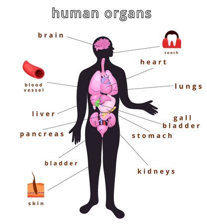 Realistic internal human body organs.Internal human body organs system.Modern flat cartoons vector illustration Illustration
