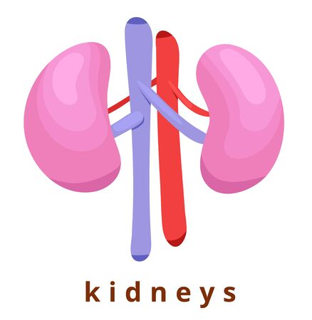 Human internal organ - realistic kidneys with the name. Anatomy. Pink human kidneys. Human body part. Modern flat cartoons vector illustration icons. Isolated on white background. Realistic kidneys.