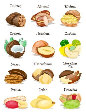 Set of nuts poster,in shell,half,whole,cut, peeled: nutmeg,macadamia,cashew,pistachio,almond,hazelnut,pecan,peanut,coconut,walnut,brazilian,cedar,pine nut. Flat cartoon vector illustration on white. Stock Illustratie