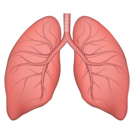 Vector illustration of human lung structure. Realistic drawing for anotomy biology textbook or articles about pulmonary diseases. Lungs in normal condition. Respiratory diseases. Vetores
