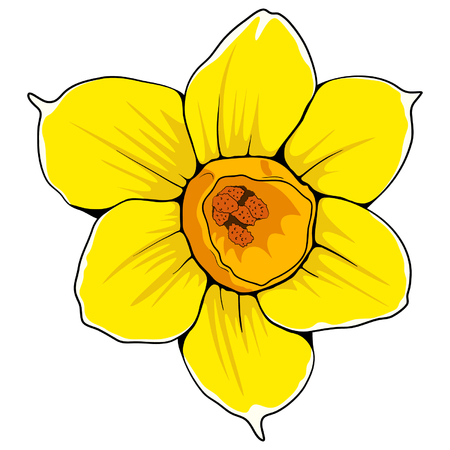 Yellow daffodil vector flower. Hand drawn delicate opened narcissus.