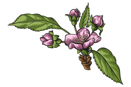 Branch of apple tree with flowers and leaves vector illustration. Hand drawn apple tree with blooming flowers.