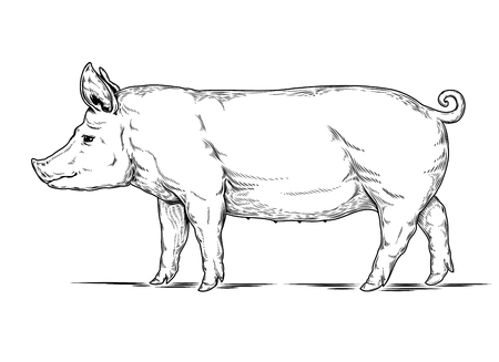 oink: Vector illustration of a pig is made in the style of engraving
