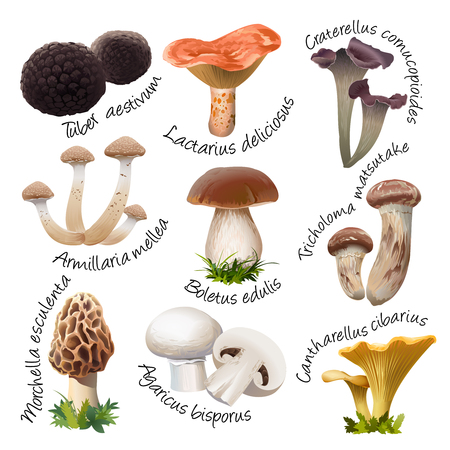 Vector collection of various species of edible mushrooms. Realistic style