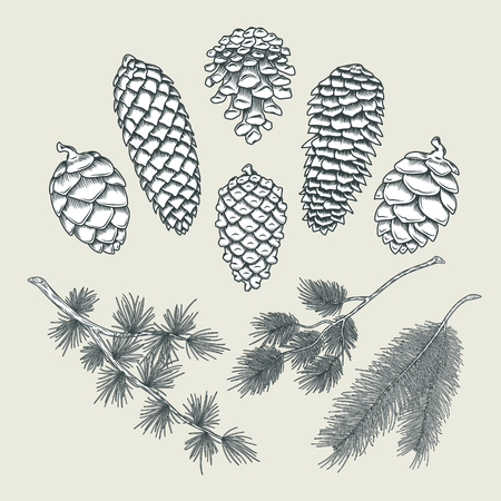 Set of vector botanical elements - cones and branches of pine, spruce, larch, isolated on white. Engraving style. Great for greeting cards, holiday decorations