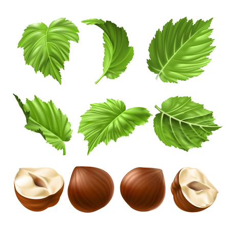 nutty: Vector realistic illustration of a hazelnut peeled whole, chopped into halves and green hazel leaves isolated on white. Print, template, design element for packaging