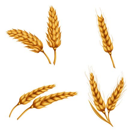 Set of vector illustrations of wheat spikelets, grains, sheaves of wheat isolated on white background. Template, print, design element.