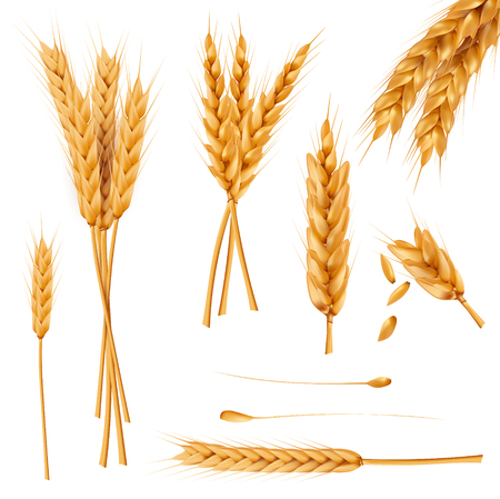 Bunch of wheat ears, dried whole grains realistic vector illustration set isolated on white background. Cereals harvest, agriculture, organic farming, healthy food symbol. Bakery design element Illustration
