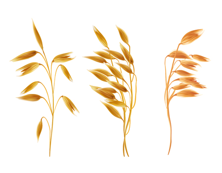 Realistic oat ears with grains set. Detailed cereal plants, agriculture industry organic crop products for oat groats flakes, oatmeal packaging design. Vector isolated illustration, white background Ilustracja