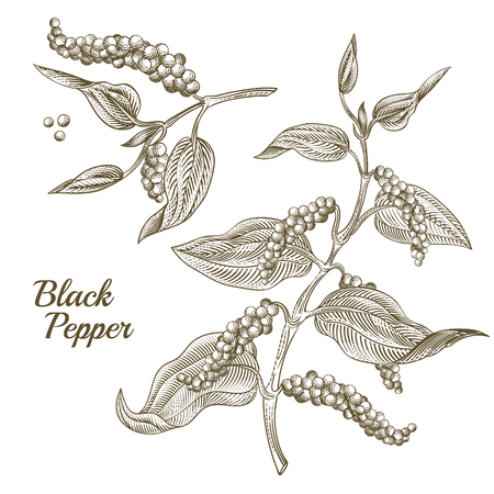 Vector illustration of black pepper plant with leaves and peppercorns, isolated on white background. Botanical hand drawn sketch in engraving style. Natural spicy seasoning for eating and cooking