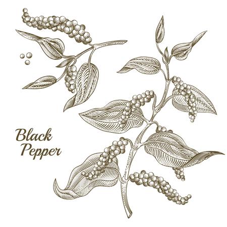 Vektorillustration der schwarzen Pfefferpflanze mit Blättern und Pfefferkörnern, lokalisiert auf weißem Hintergrund. Botanische handgezeichnete Skizze im Gravurstil. Natürliches würziges Gewürz zum Essen und Kochen