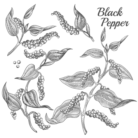 Vector illustration of black pepper plant with leaves and peppercorns isolated on background. Natural spicy seasoning for eating. Botanical hand drawn sketch for labels and packages in engraving style