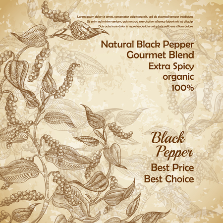 Vector vintage illustration of black pepper plant with leaves and peppercorns on textured background. Natural spicy seasoning for eating. Banner with botanical hand drawn sketch for labels, packages